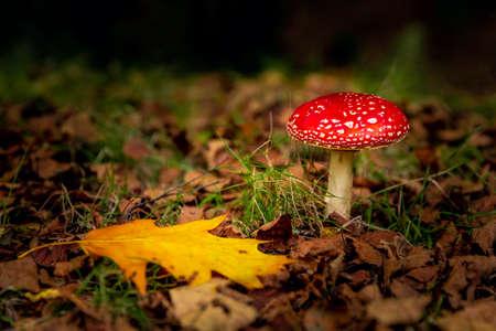 Shot of a beautiful amanita mushroom