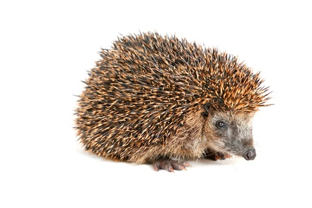 beholder: Adorable hedgehog standing and looking at the beholder