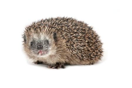 beholder: Hedgehog either sniffing or shouting at the beholder