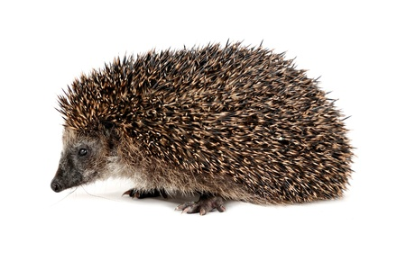 Adorable hedgehog walking and sniiffing seen from the side in front of white background Stock Photo - 16701313