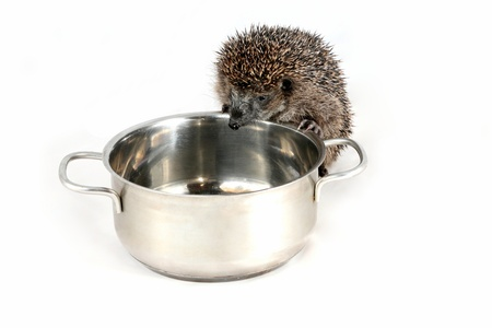 Hungry hedgehog lookong for food in a cooking pot photo