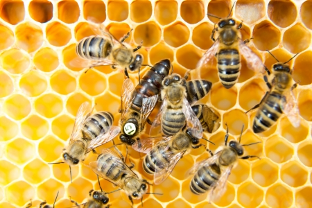 abeja reina: Abeja reina en una colmena de poner huevos apoyados por las abejas obreras