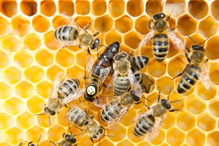 Bienenkönigin in einem Bienenstock Eier von Arbeitsbienen unterstützt Standard-Bild - 19686554