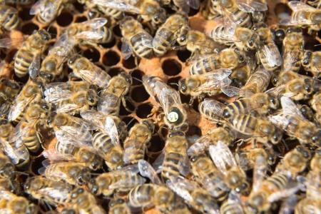 bee queen: Abeja reina en una colmena de poner huevos apoyados por las abejas obreras