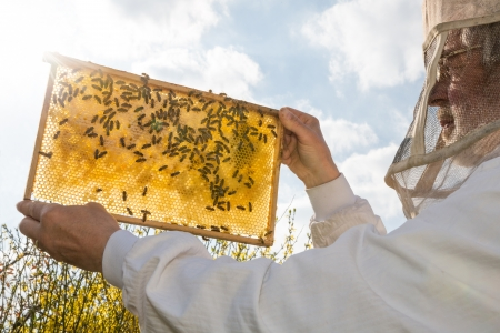 Beekeeper holds frame with honeycomb at bee colonyagainst the sun Standard-Bild