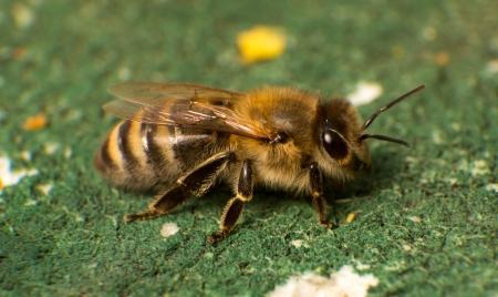 abeja reina: Primer plano o macro foto de una abeja en la colmena