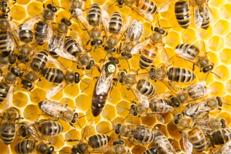 busy bees: Queen bee in a beehive laying eggs supported by worker bees
