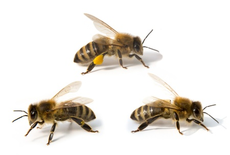 Bees isolated in front of white background