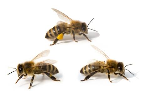 Bijen geïsoleerd voor witte achtergrond