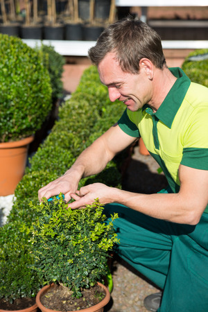 boxwood: Gardener at nursery pruning or cutting boxwood with scissors Stock Photo
