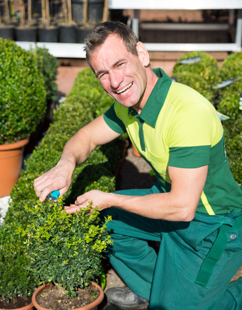 pruning scissors: Gardener at nursery pruning or cutting boxwood with scissors Stock Photo