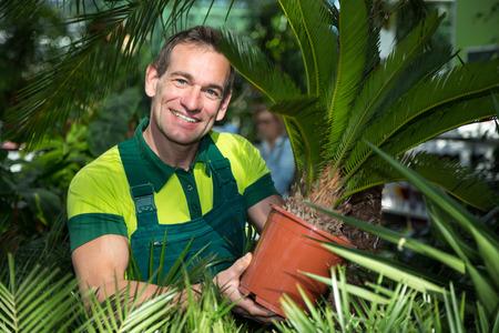 garden center: Gardener presenting potted palm tree in nursery or garden center