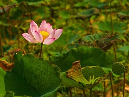 lotus, lotus pool,