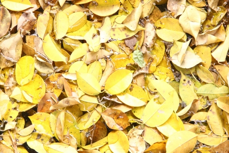 sear and yellow leaf: A lot of yellow  dry leaves lying on the ground Stock Photo