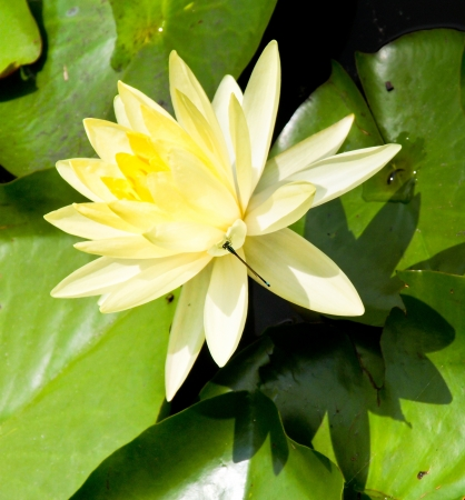 yellow lotus Stock Photo