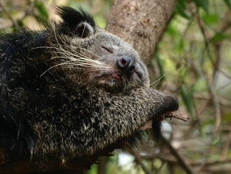 bearcat: sleeping Bearcat