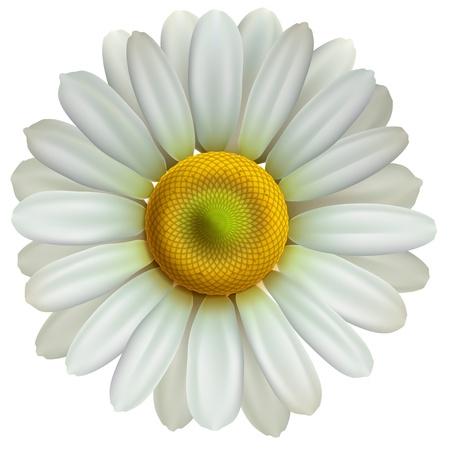 marguerite: Fleur de camomille
