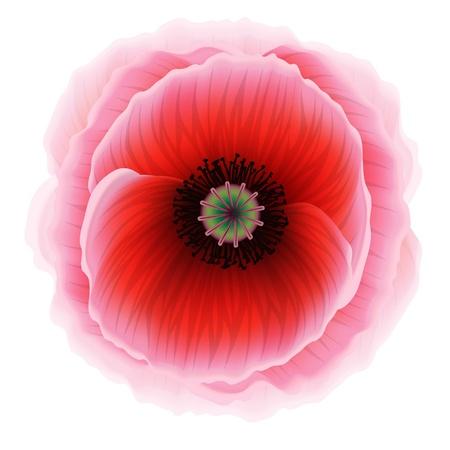 florescence: Red poppy flower