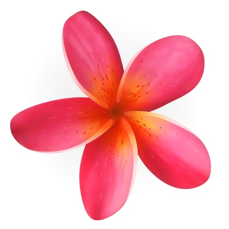topical: Pink Plumeria flower isolated on white