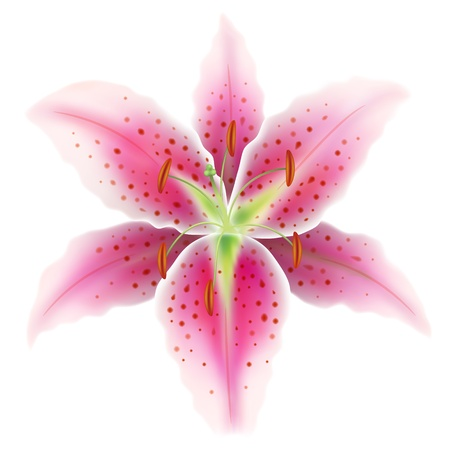 Pink lily on a white background