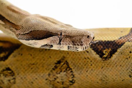 Big snake head close up. imperial boa Constrictor