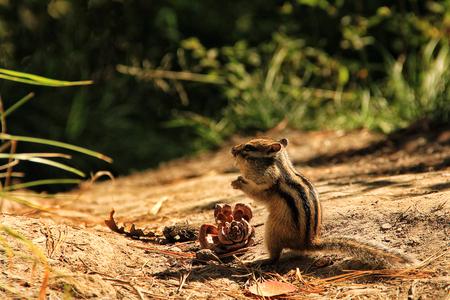 ardilla: El Chipmunk come nueces. Taiga en Siberia Foto de archivo