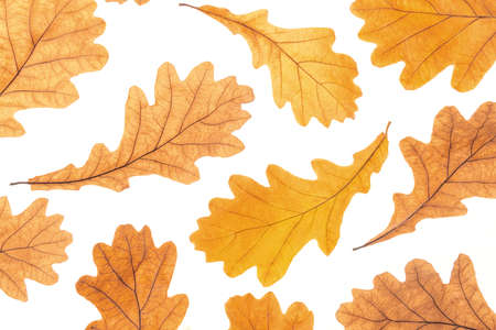 Autumn yellow oak leaves on white background, fall wallpaper. Top view Flat lay.