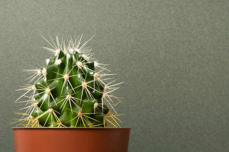 Home plants. Cactus in brown pots on a green background. Close-up, Front view Copy space.