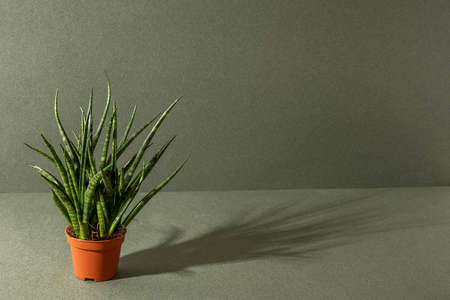 Home plants. Sansevieria cylindrica in brown pots on a green background. Front view Copy space. Stock fotó - 163497256