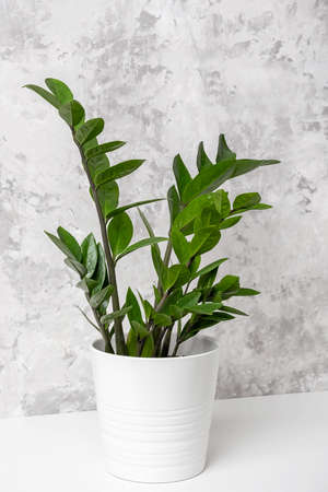 Houseplant zamioculcas flower in white pot on table against gray concrete wall, close-up.