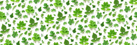 Pattern of various natural green leaves on a white background, as a backdrop or texture. Spring, summer wallpaper for your design. Top view Flat lay Banner.