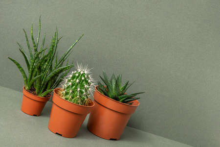 Home plants. Succulents and cactus in brown pots on green wall. Close-up, Front view. Stock fotó