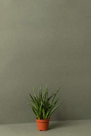 Home plants. Sansevieria cylindrica in brown pots on a green background. Front view Copy space.