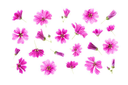 Set of natural pink flowers isolated on white background for your floral design or floral pattern. Spring or Summer template. Top view Flat Lay.