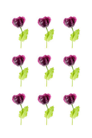 Pattern of natural poppy flowers on a white background, as a backdrop or texture. Summer wallpaper for your design. Top view Flat lay.