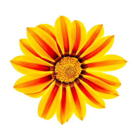 Gazania or African daisies isolated on white background.