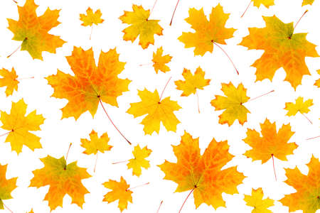 Seamless pattern of natural orange autumn leaves on a white background, as a backdrop or texture. Fall wallpaper for your design. Top view Flat lay.