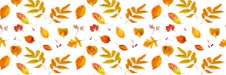 Banner made with natural autumn leaves and berry on a white background, as a backdrop or texture. Fall wallpaper for your design. Top view Flat lay.