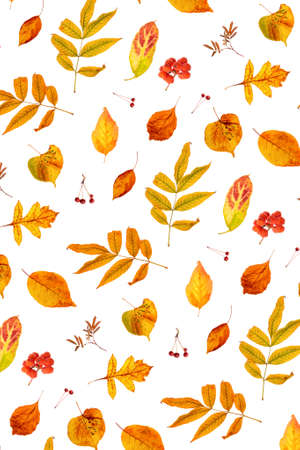 Pattern of natural orange autumn leaves and berry on a white background, as a backdrop or texture. Fall wallpaper for your design. Top view Flat lay.