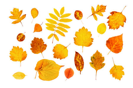 Set of natural autumn leaves isolated on white background. Top view.