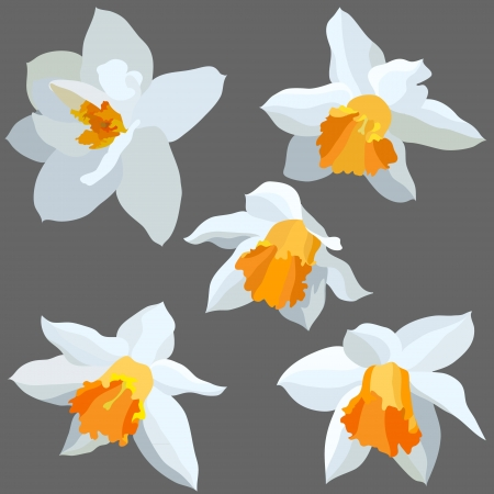Narcissus isolated  Vector