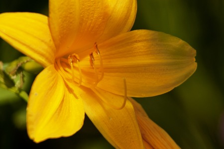 daylily: In a clearing grow beautiful and delicate flower daylily