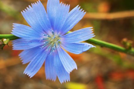Op het gazon groeien delicate bloemen van cichorei Stockfoto