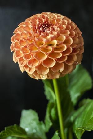Fresh dahlia flower on black background Imagens