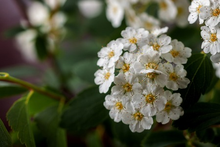 Shrub with delicate white flowers 写真素材