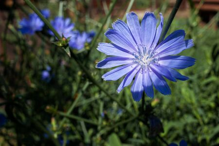 Chicory blossoms in the garden, coffee grass