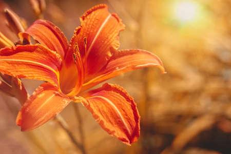 Orange Hemerocallis blooms in the garden. Close-up