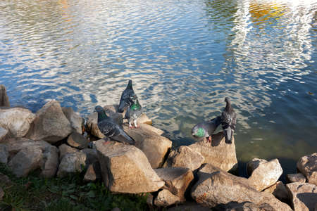 A flock of pigeons in the autumn city park near the pond 版權商用圖片
