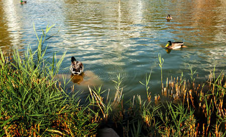 Swimming ducks in the pond of the city park