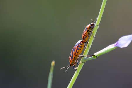 graphosoma: Couple of Graphosoma italicum